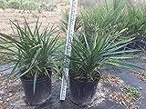Yucca Aloifolia Spanish bayonet cold hardy plant