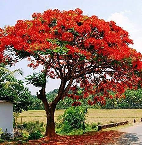 Amazing Plant Live Gulmohar/Delonix Regia Red Flower Outdoor Ornamental Plant With POT (B07QY1WHMV) Amazon Price History, Amazon Price Tracker
