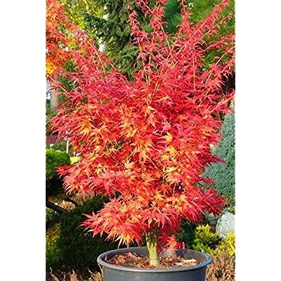 Seiun Kaku Japanese Maple 2 - Year PLANT : Maple Trees : Garden & Outdoor