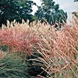 Outsidepride Miscanthus New Hybrids - 250 Seeds