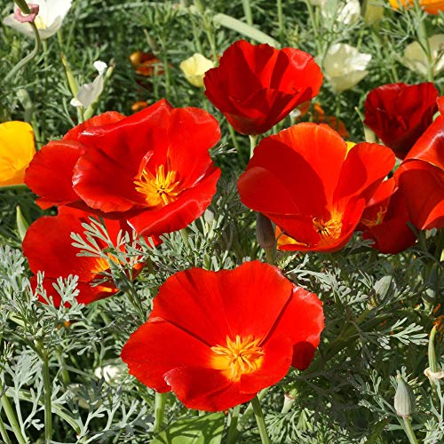 Outsidepride California Poppy Eschscholzia Californica Red Chief Flower Seed - 5000 Seeds