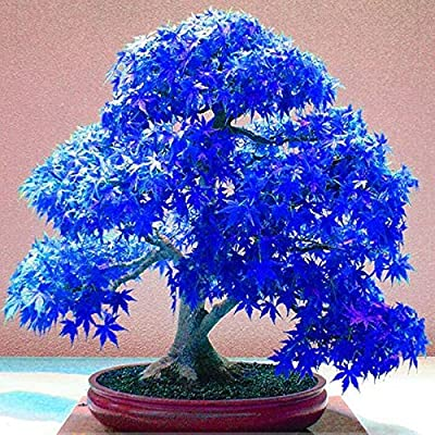 Bonsai Tree Suaveolen Arrowroot Plant Real Japanese Ghost Blue Maple Seeds Rare Balcony Bonsai Tree Plants for Home Garden 20 Seeds/Pack : Garden & Outdoor