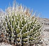 Rare Agave Utahensis var Eborispina 5 seeds~Ivory spine agave plant SEEDS