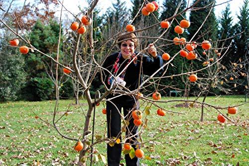 (1 Fuyu persimmon tree(Diospyros kaki