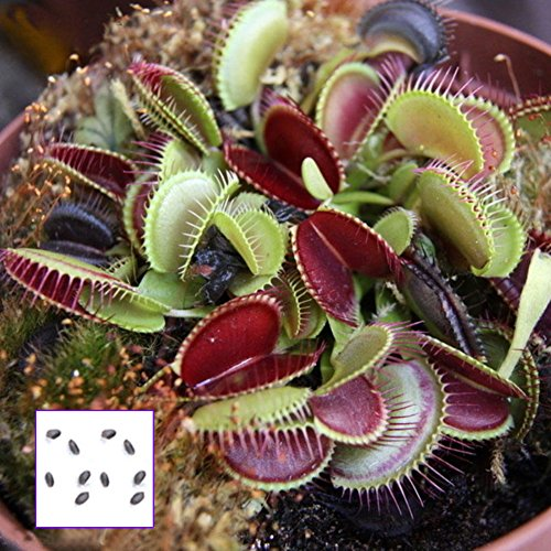 Opla3ofx 10 Pcs Potted Insectivorous Seeds Dionaea Giant Clip Flytrap Carnivorous Plant Seeds for Planting,Idea Outdoor and Indoor Ornament