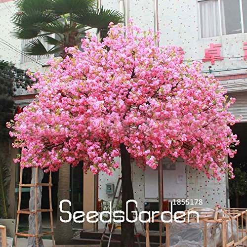 Time-Limit!!10 Seeds/bag Red Japanese cherry blossoms Seeds Courtyard Garden Bonsai Tree Seeds Small Sakura Tree Seeds Mixed Col Cherry Blossom Gardens