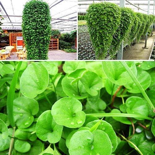 ScoutSeed 100 Unids Dichondra Repens Semillas de Césped Ornamentales Planta Verde Jardín de Flores en el Hogar: Amazon.es: Jardín