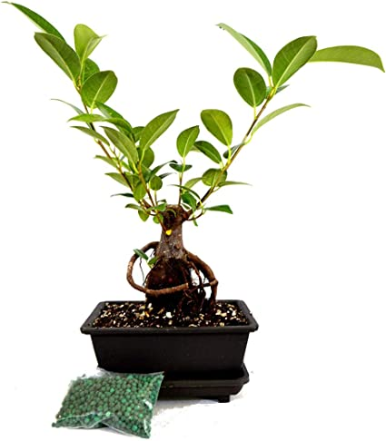 Amazon Com Ginseng Ficus Bonsai Live Tree Small Retusa Water Tray Fertilizer Gift Usa Mall Garden Outdoor