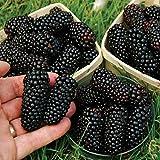 100 Seeds/Pack Thornless BlackBerry...