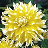 3 Dahlia DinnerPlate Grand Prix,Dinner Plate Dahlia Tubers, Great Cut Flowers,Blooms Summer to Fall
