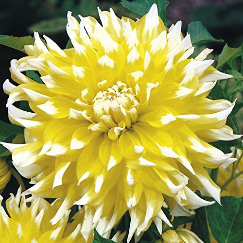 - 3 Dahlia DinnerPlate Grand Prix,Dinner Plate Dahlia Tubers, Great Cut Flowers,Blooms Summer to Fall
