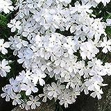 72 plants plug tray - Phlox subulata Snowflake - Moss Phlox