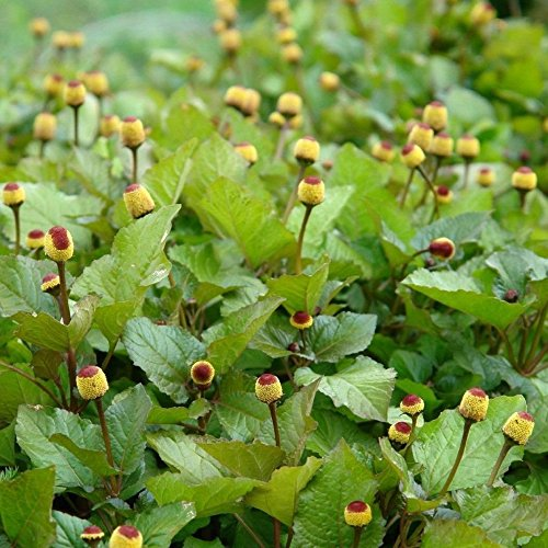 Toothache Plant Seeds, Bulls Eye (Spilanthes acmella) 40+ Organic Medicinal Herb Seeds in FROZEN SEED CAPSULES for the Gardener & Rare Seeds Collector - Plant Seeds Now or Save Seeds for Years