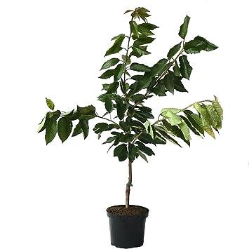 Colt M/üllers Gr/üner Garten Shop Regina beliebte sp/äte robuste S/ü/ßkirsche Kirschbaum Buschbaum ca 120-150 cm Unterlage