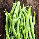 Contender Bush Bean Seeds - 50 Lb Bulk - Non-GMO, Heirloom - Also Called Buff Valentine - Vegetable Garden Seeds