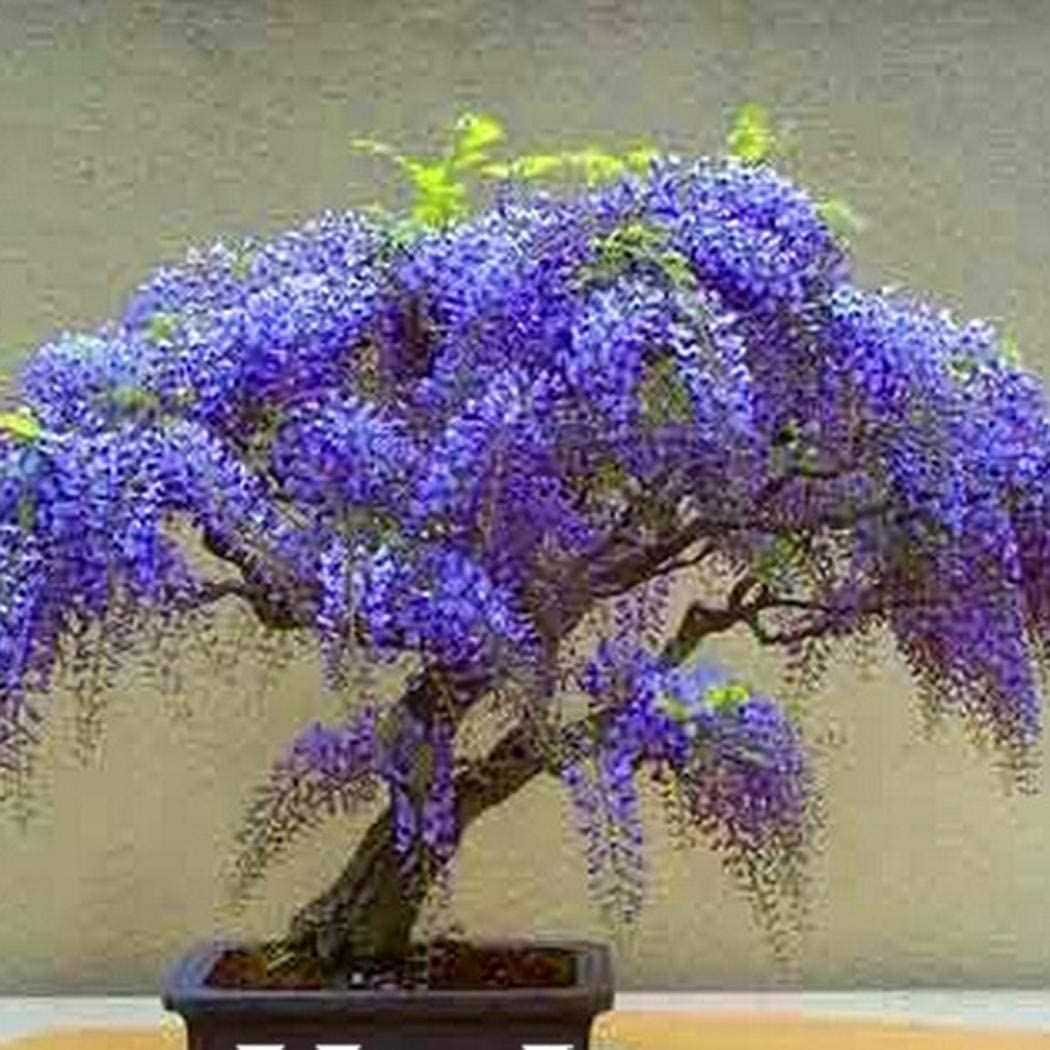 Amazon Com Yiiena Mini Bonsai Wisteria Tree Seeds Home Garden