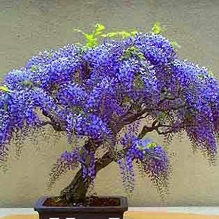 Amazon Com Yiiena Mini Bonsai Wisteria Tree Seeds Home Garden