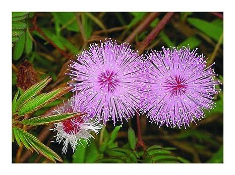 Mimosa pudica - Planta sensibles - 20 Semillas: Amazon.es: Hogar