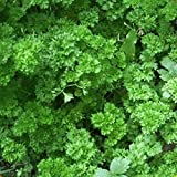Everwilde Farms - 1 Lb Moss Curled Parsley Seeds - Gold Vault
