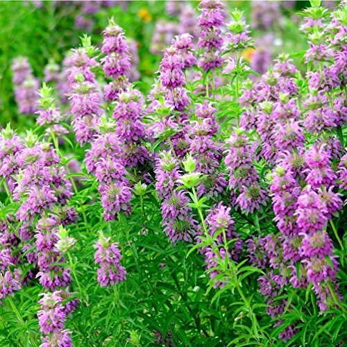 Lemon Bergamot; Lemon Bee Balm Seeds (Monarda citriodora) 300+ Medicinal Herb Seeds in FROZEN SEED CAPSULES for the Gardener & Rare Seeds Collector - Plant Seeds Now or Save Seeds - Bergamot Herb