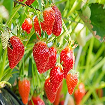 Eversweet Everbearing 25 Live Strawberry Plants NON GMO