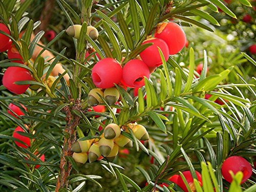Shrub Seeds - 10 Seeds of English Yew, Taxus baccata (Evergreen, Topiary, Bonsai) ()