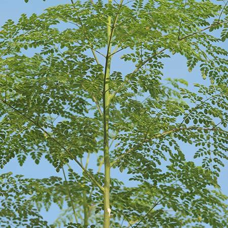Amazon.com: Moringa Oleifera - Thai Maroom: Jardín y Exteriores