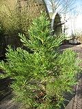 immergrüner Mammutbaum Sequoiadendron giganteum 50-60 cm hoch im 7,5 Liter Pflanzcontainer