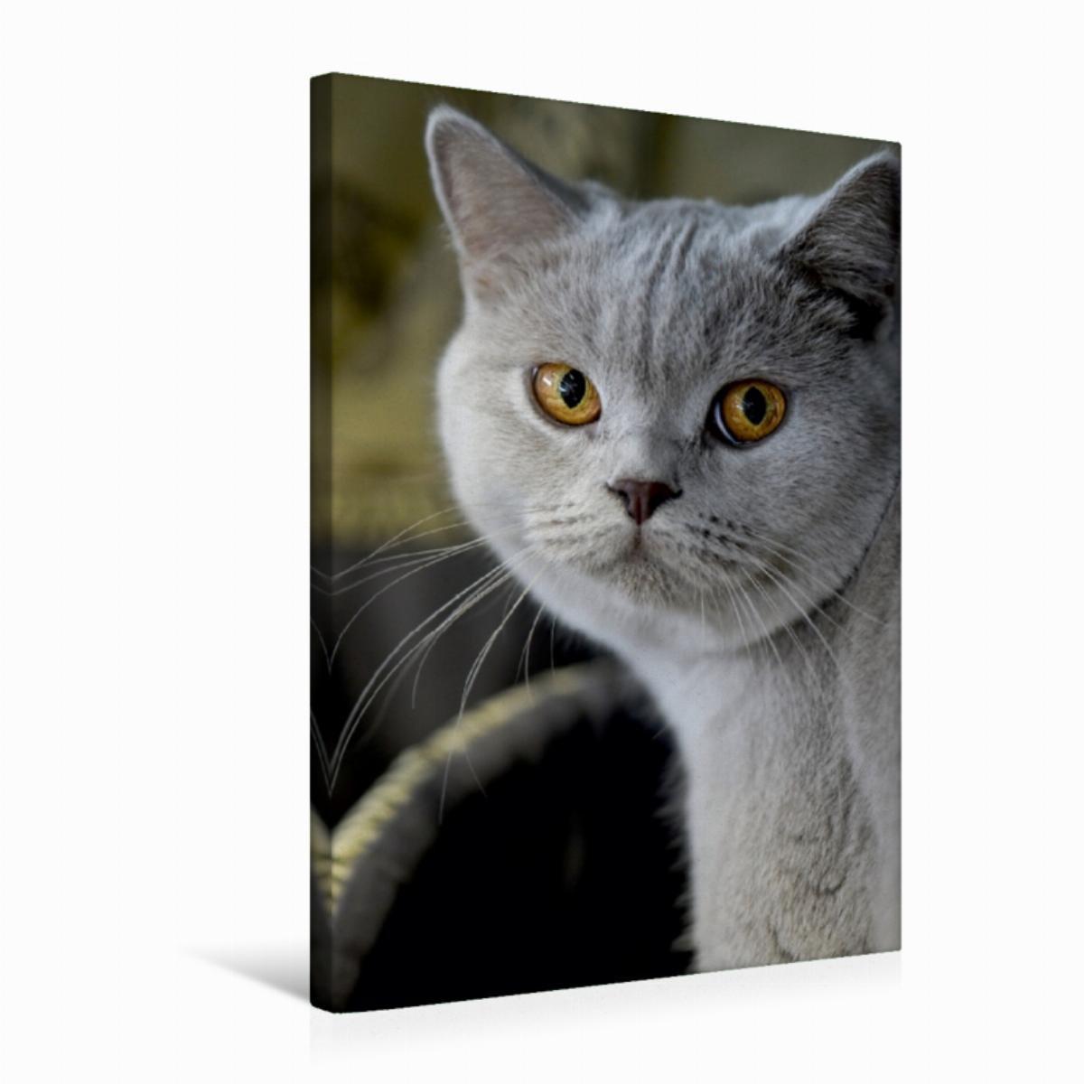 Calvendo Leinwand Britisch Kurzhaar Katze 50x75cm, Special-Edition Wandbild, Bild auf Keilrahmen, Fertigbild auf hochwertigem Textil, Leinwanddruck, kein Poster