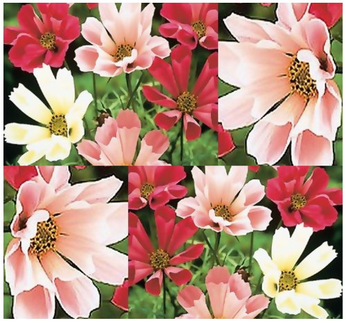 150 Cosmos Flower Seeds SEA Shells Mix ~ Mexican Aster~ White, Pink, Crimson~