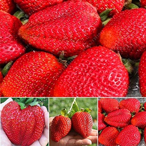 Bolsa Gigante Semillas de Fresa sin Transg/énicos Bons/ái Jard/ín Hogar Planta en Maceta Org/ánico Fruta Semilla Dovlen 200 Pcs