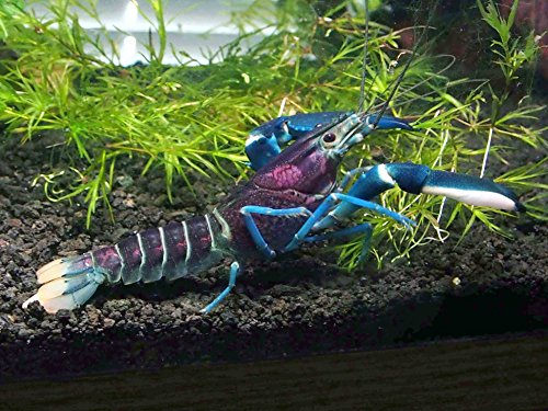 1 Live Thunderbolt Crayfish/Freshwater Lobster (Cherax pulcher - Bred from  Pink Coral Crayfish) - 3-4 Inch Young Adult by Aquatic Arts