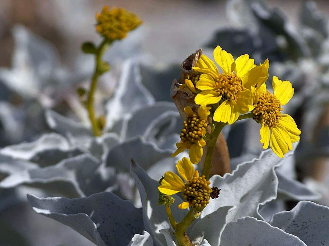 1 Packet - 50 Seeds of Brittlebush Encelia farinosa/Asteracea