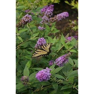 "AchmadAnam - 4"" Pot - Lo & Behold Blue Chip - Butterfly Bush - Buddleia - Proven Winners : Garden & Outdoor"