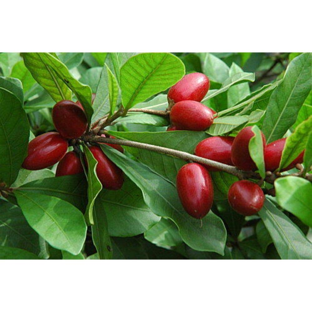 Miracle Berry Fruit Trees 30 Inch Height in 3 Gallon Pot #BS1