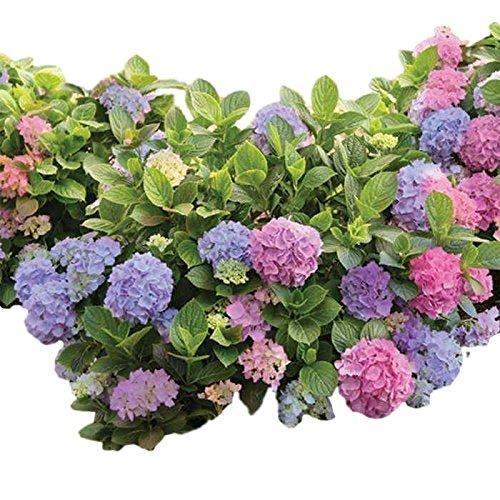 (L.A. Dreamin Mophead Hydrangea - Live Plant - Trade Gallon Pot)
