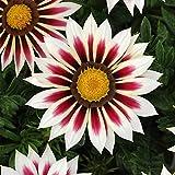 New Day Series Gazania Flower Garden Seeds - Rose Stripe - 100 Seeds - Annual Flower Gardening Seeds - Gazania splendens