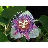 Sweet Calabash Passion Flower 15 Seeds- Passiflora