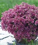 Haning Diascia 'Pink Queen' (Diascia Barbarea) Annual Flower Plant Heirloom Seeds