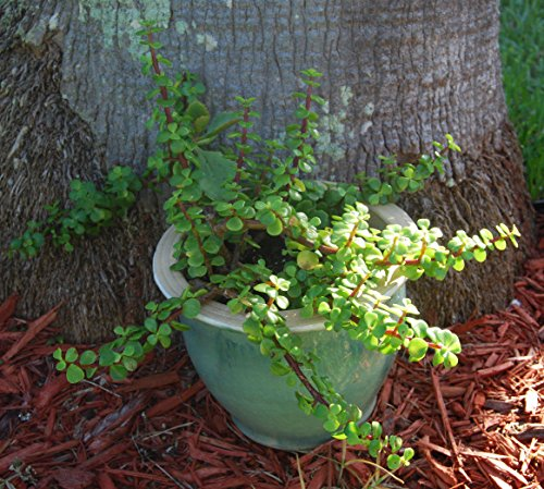 Elephant Bush - Portucalaria Afra Solid Green Bonsai – Mini Jade Tree Plant by faetedgarden