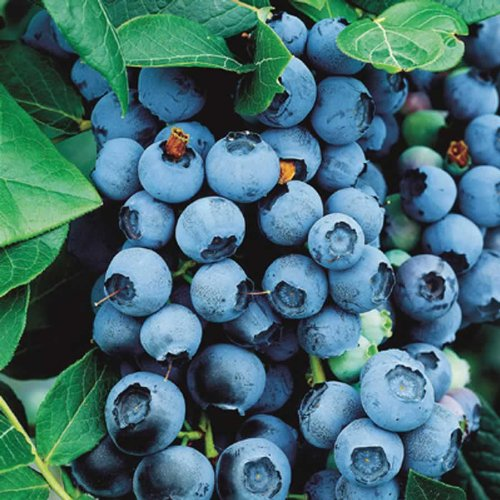 1 Bluecrop Blueberry Plant - 2 Year All Natural Grown - Ready for Fall Planting by Jack's Back 40