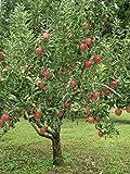 Flavor Rich Peach Tree - Dwarf - Healthy Established 1 Gallon Trade Pot - 1 each