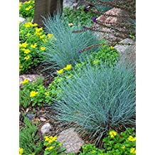 Ornamental Grass: BLUE FESCUE (Fesnea Ovina glauca) Perennial Seed *High Germination, Fresh Seed*