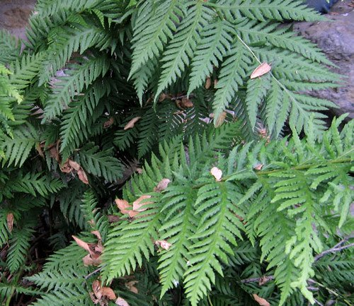 Woodwardia Fimbriata Giant Chain Fern (Sent in 9cm pots) (3) Hot Plant Company