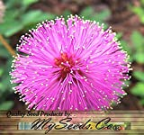 4500 MIMOSA PUDICA SENSITIVE PLANT Flower Seeds - Excellent Indoor House Plant