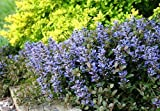 Chocolate Chip Ajuga - Carpet Bugle - Miniature Leaves - 4 Plants - Stepables