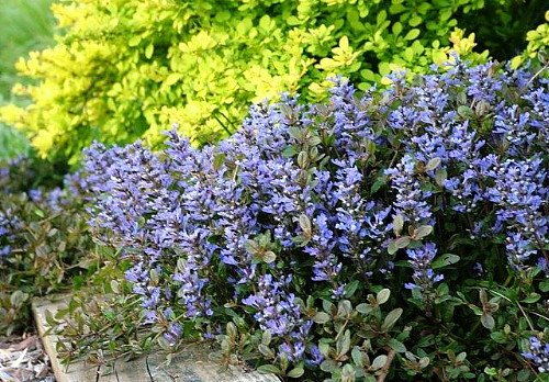 Chocolate Chip Ajuga - Carpet Bugle - Miniature Leaves - 48 Plants -1 3/4'' Pot by Hirts: Ajuga (Image #3)