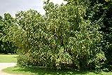38 Seeds of Laburnum alpinum, Scotch Laburnum