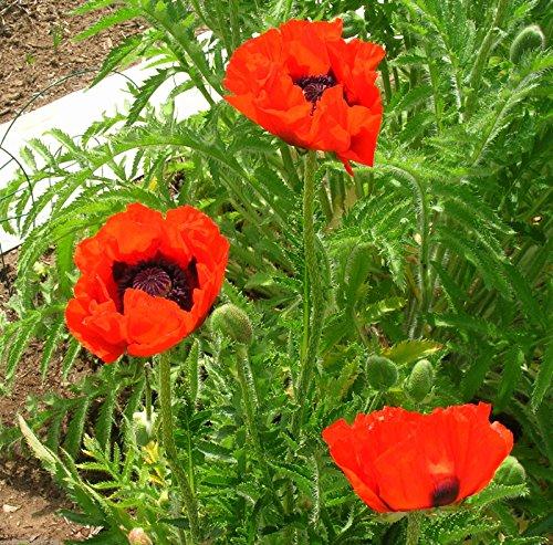 200 Oriental Poppy Seeds Nana Allegro Papaver
