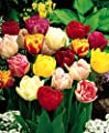 24 Double Mixture - Double Tulip Bulbs